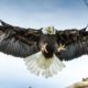 American Bald Eagle | Texas Farmer Pleads Guilty for Poisoning Federally Protected Bald Eagle in 2018 | Featured